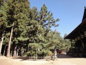 登天の松・杓子の芝